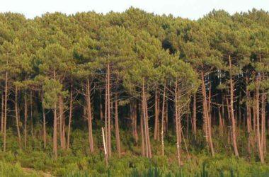 découvrir la forêt des Landes